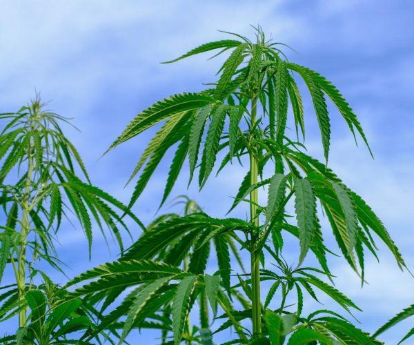 Sprzęt do hodowli marihuany – jak wybrać odpowiedni i nie dać się oszukać