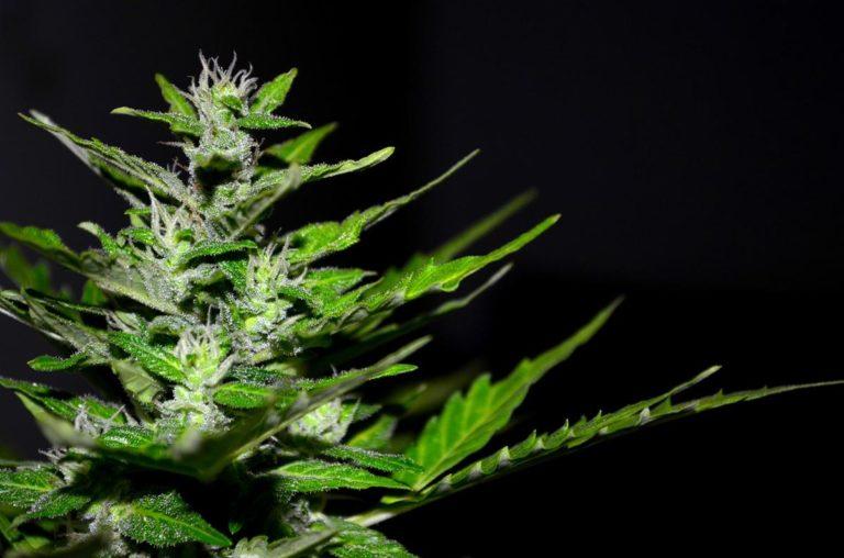 W jaki sposób powinniśmy pomóc kwitnącej marihuanie?